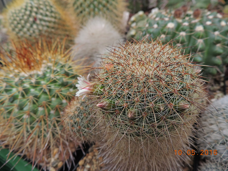 Cacti and Sukkulent in Köln, every day new flowers in the greenhouse Part 143 Bild_575
