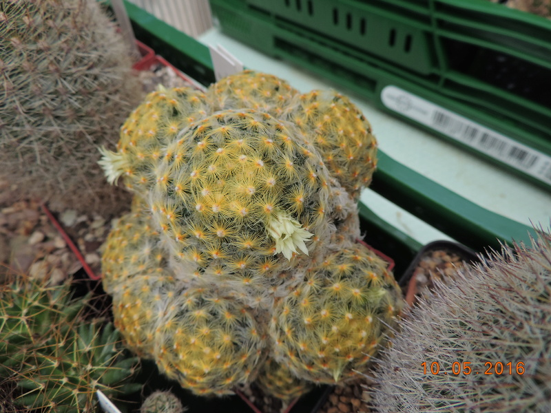 Cacti and Sukkulent in Köln, every day new flowers in the greenhouse Part 143 Bild_579