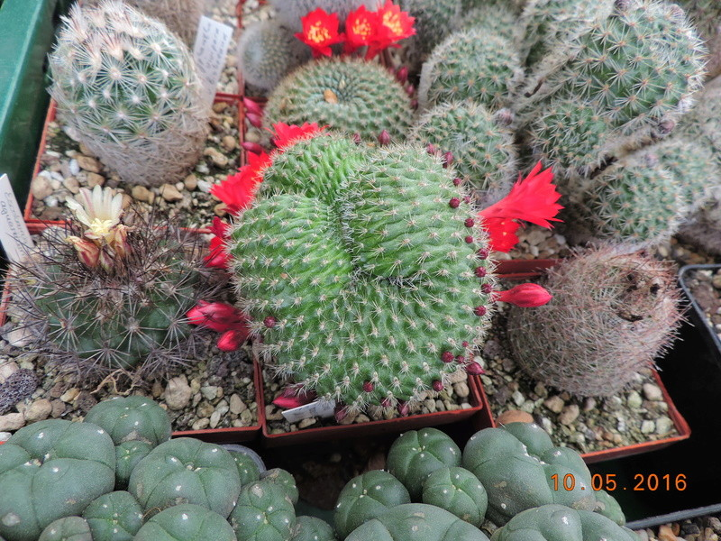 Cacti and Sukkulent in Köln, every day new flowers in the greenhouse Part 143 Bild_583