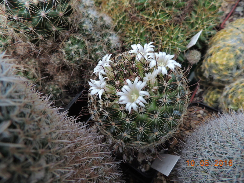 Cacti and Sukkulent in Köln, every day new flowers in the greenhouse Part 143 Bild_584