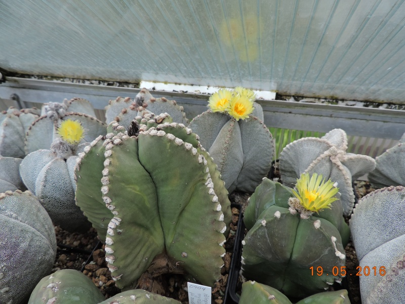 Cacti and Sukkulent in Köln, every day new flowers in the greenhouse Part 143 Bild_596