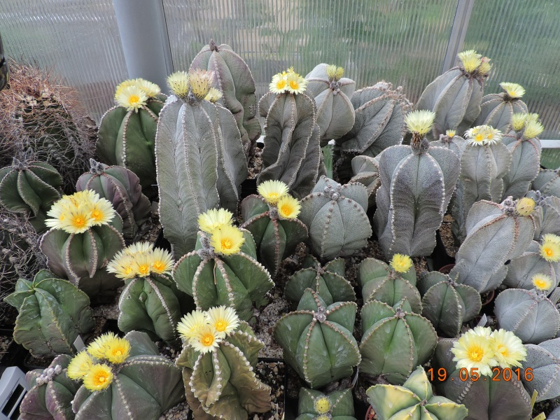Cacti and Sukkulent in Köln, every day new flowers in the greenhouse Part 143 Bild_597