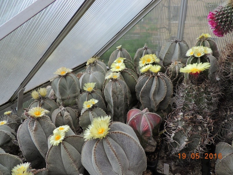 Cacti and Sukkulent in Köln, every day new flowers in the greenhouse Part 143 Bild_598