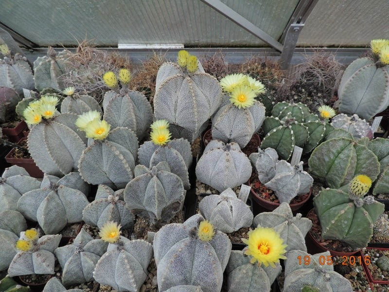 Cacti and Sukkulent in Köln, every day new flowers in the greenhouse Part 143 Bild_599