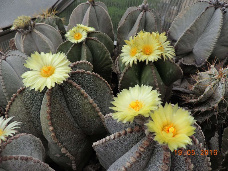 Cacti and Sukkulent in Köln, every day new flowers in the greenhouse Part 143 Bild_601