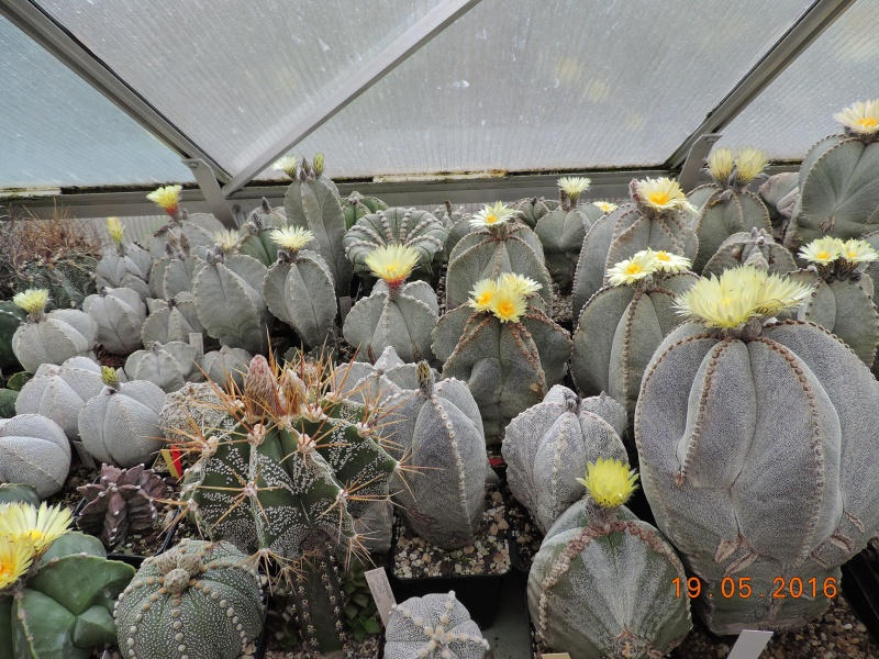Cacti and Sukkulent in Köln, every day new flowers in the greenhouse Part 143 Bild_602