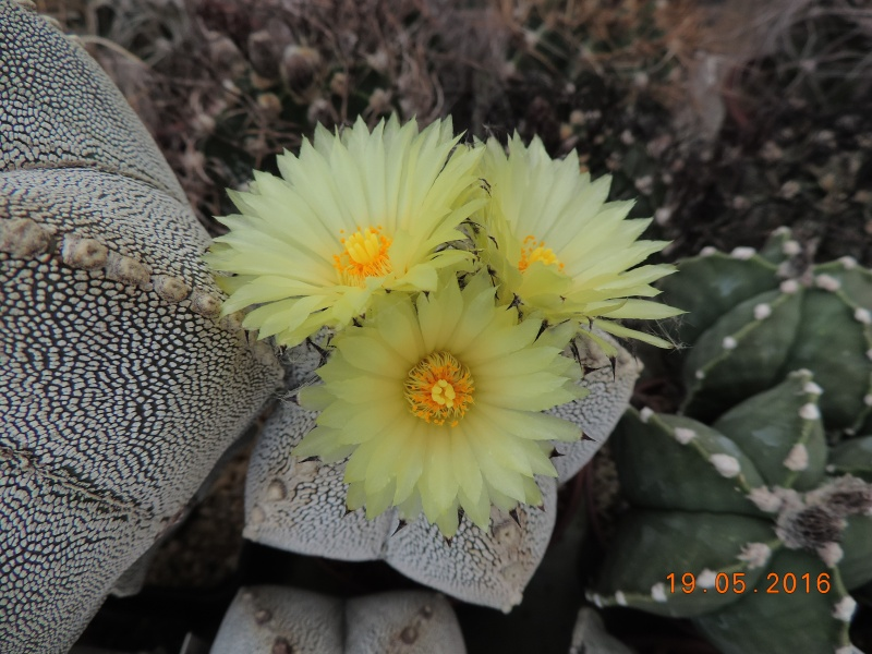 Cacti and Sukkulent in Köln, every day new flowers in the greenhouse Part 143 Bild_606