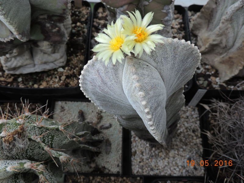 Cacti and Sukkulent in Köln, every day new flowers in the greenhouse Part 143 Bild_609