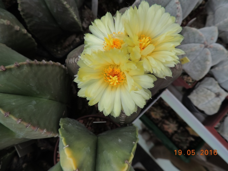 Cacti and Sukkulent in Köln, every day new flowers in the greenhouse Part 143 Bild_610