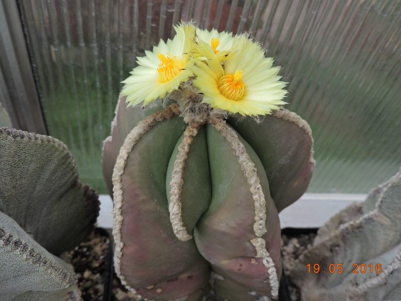 Cacti and Sukkulent in Köln, every day new flowers in the greenhouse Part 143 Bild_611