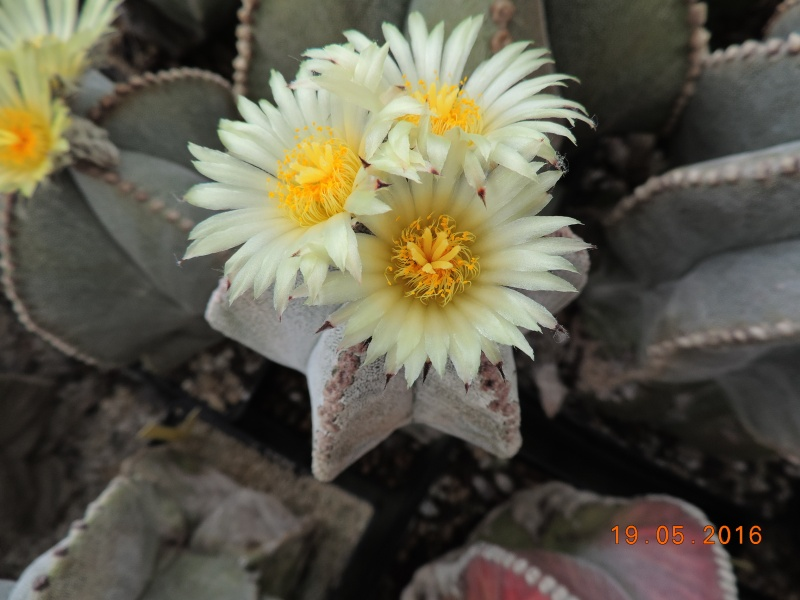 Cacti and Sukkulent in Köln, every day new flowers in the greenhouse Part 143 Bild_612