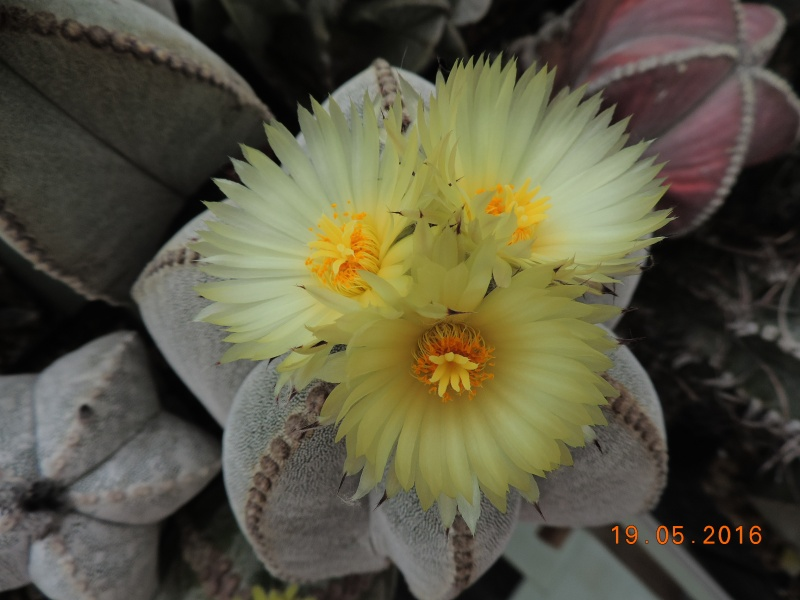 Cacti and Sukkulent in Köln, every day new flowers in the greenhouse Part 143 Bild_614