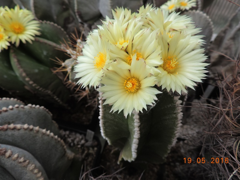 Cacti and Sukkulent in Köln, every day new flowers in the greenhouse Part 143 Bild_615