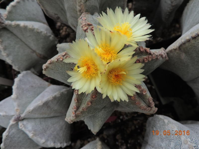 Cacti and Sukkulent in Köln, every day new flowers in the greenhouse Part 143 Bild_616