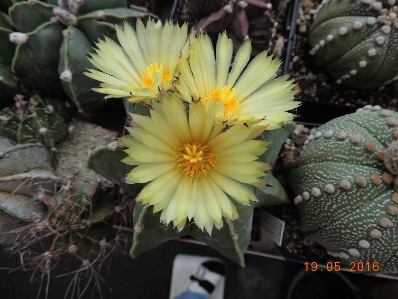 Cacti and Sukkulent in Köln, every day new flowers in the greenhouse Part 143 Bild_618