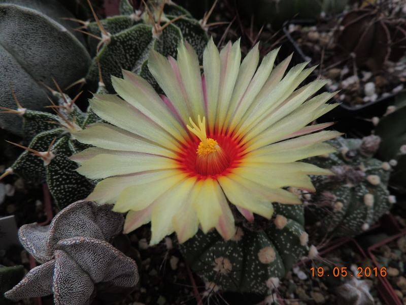 Cacti and Sukkulent in Köln, every day new flowers in the greenhouse Part 143 Bild_620
