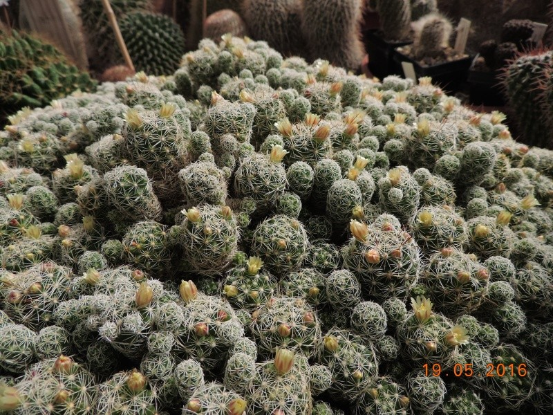 Cacti and Sukkulent in Köln, every day new flowers in the greenhouse Part 143 Bild_622