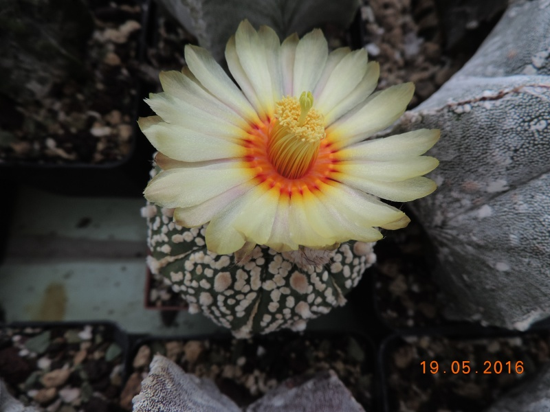 Cacti and Sukkulent in Köln, every day new flowers in the greenhouse Part 143 Bild_624