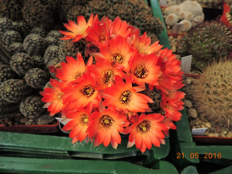 Cacti and Sukkulent in Köln, every day new flowers in the greenhouse Part 143 Bild_627