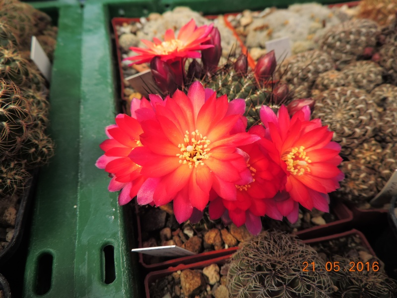 Cacti and Sukkulent in Köln, every day new flowers in the greenhouse Part 143 Bild_628
