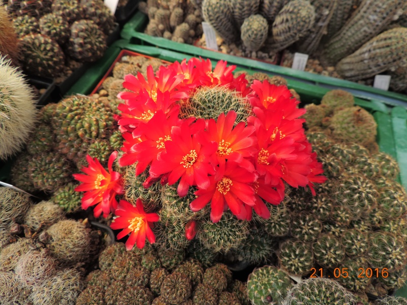 Cacti and Sukkulent in Köln, every day new flowers in the greenhouse Part 143 Bild_629