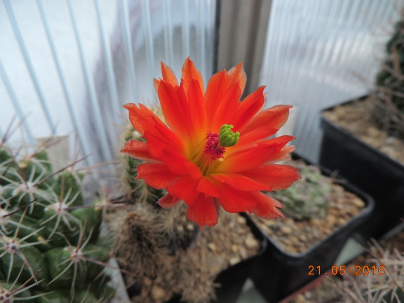 Cacti and Sukkulent in Köln, every day new flowers in the greenhouse Part 143 Bild_631