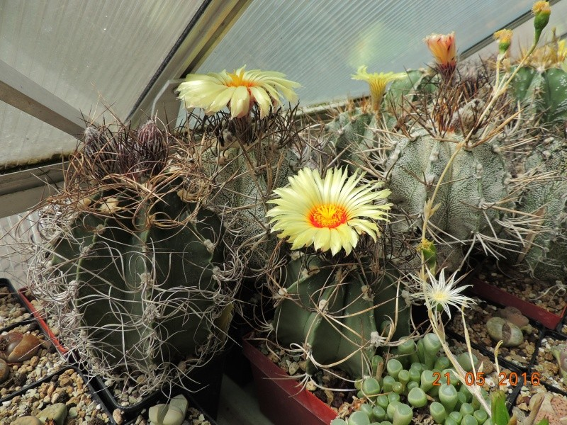 Cacti and Sukkulent in Köln, every day new flowers in the greenhouse Part 143 Bild_634