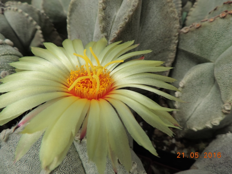 Cacti and Sukkulent in Köln, every day new flowers in the greenhouse Part 143 Bild_635