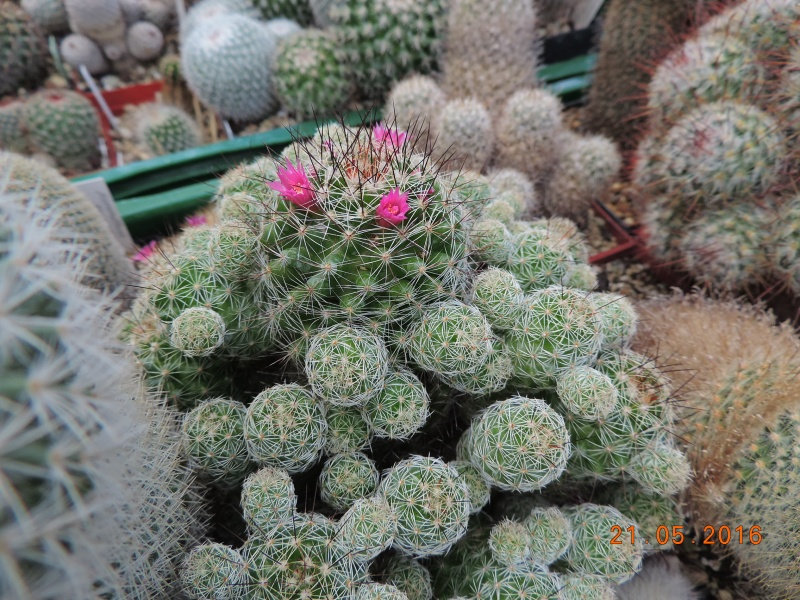 Cacti and Sukkulent in Köln, every day new flowers in the greenhouse Part 143 Bild_637