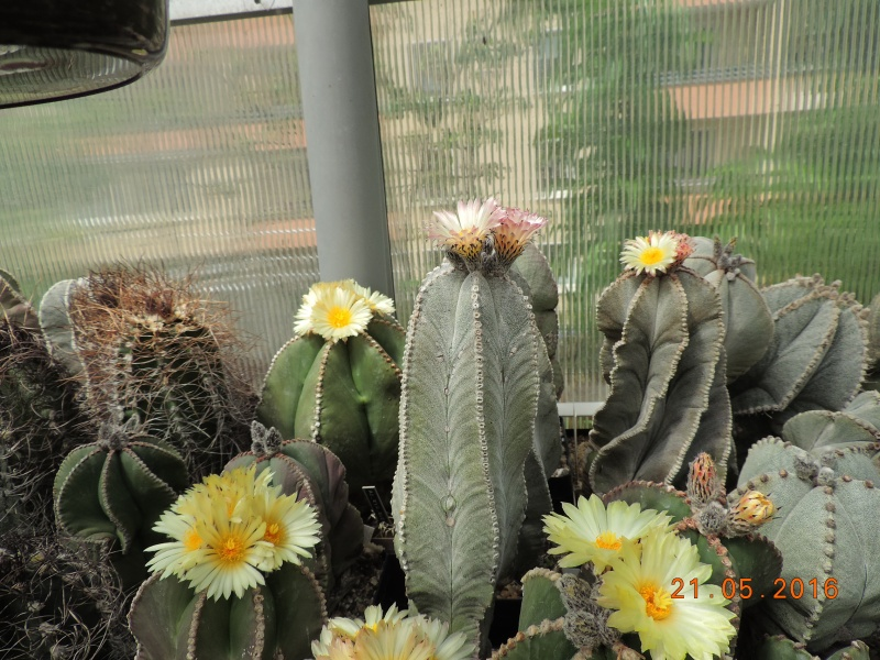 Cacti and Sukkulent in Köln, every day new flowers in the greenhouse Part 143 Bild_638
