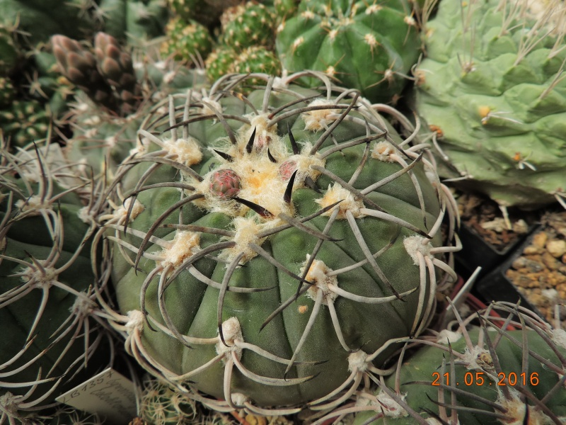 Cacti and Sukkulent in Köln, every day new flowers in the greenhouse Part 143 Bild_640