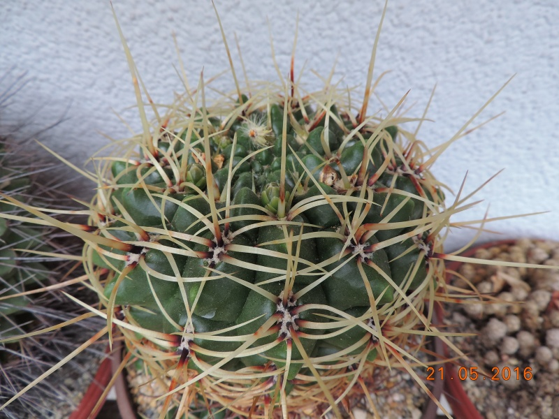 Cacti and Sukkulent in Köln, every day new flowers in the greenhouse Part 143 Bild_641