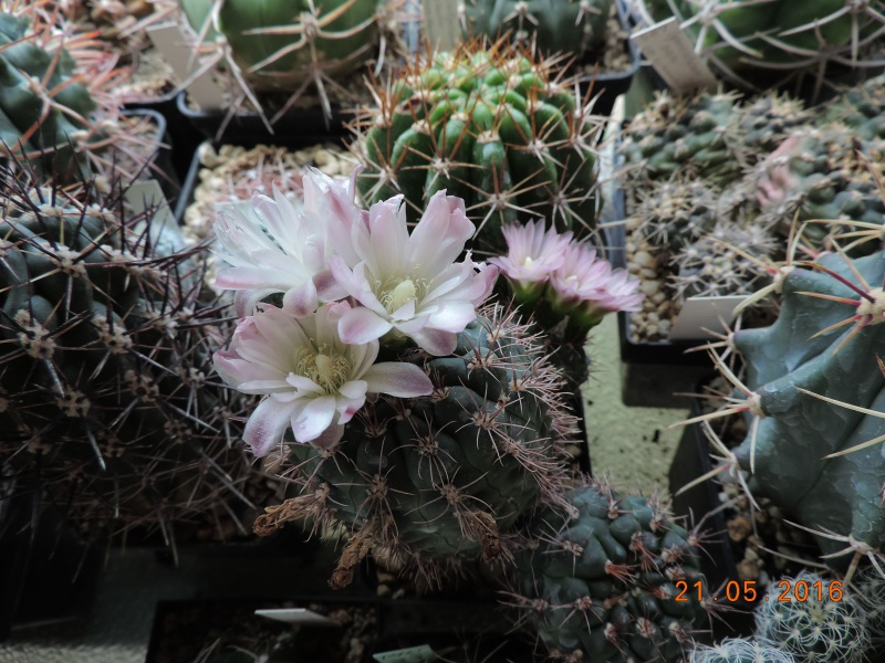 Cacti and Sukkulent in Köln, every day new flowers in the greenhouse Part 143 Bild_642