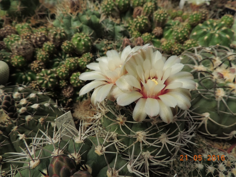 Cacti and Sukkulent in Köln, every day new flowers in the greenhouse Part 143 Bild_646