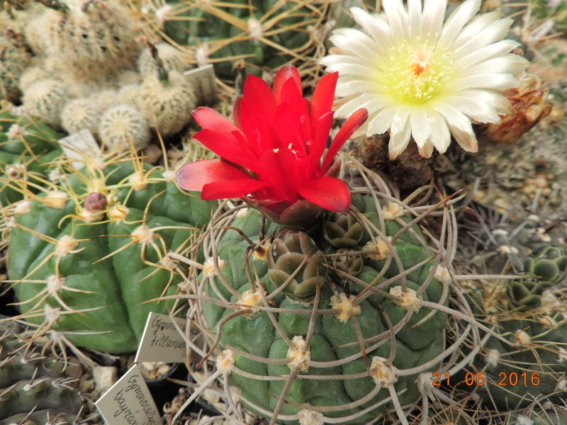 Cacti and Sukkulent in Köln, every day new flowers in the greenhouse Part 143 Bild_648