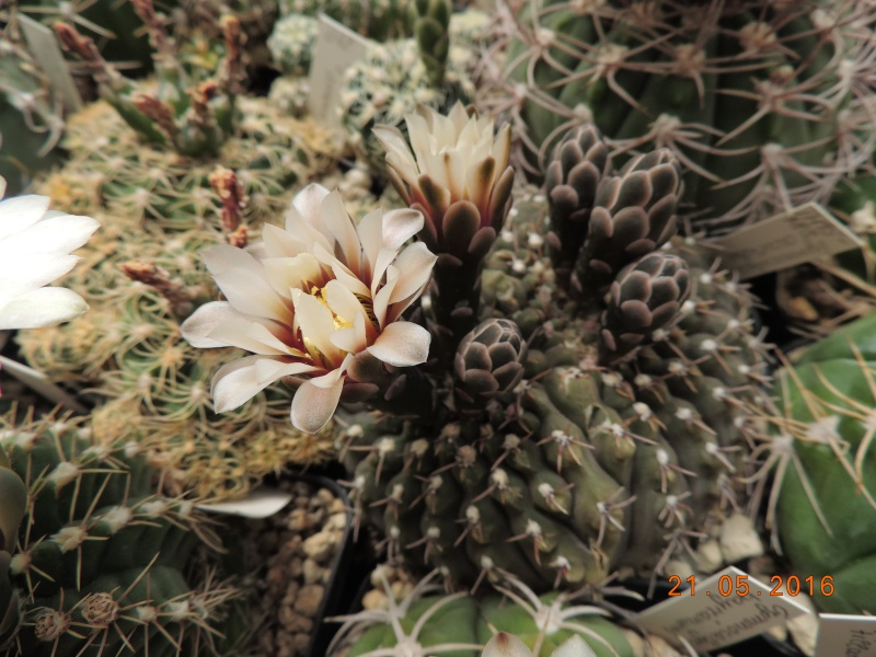 Cacti and Sukkulent in Köln, every day new flowers in the greenhouse Part 143 Bild_651