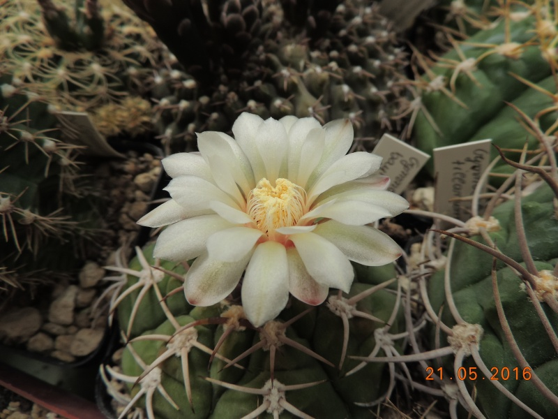 Cacti and Sukkulent in Köln, every day new flowers in the greenhouse Part 143 Bild_652