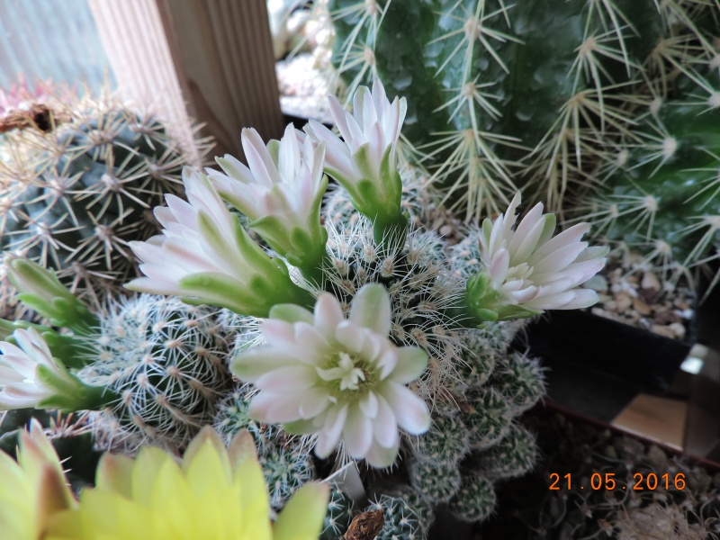 Cacti and Sukkulent in Köln, every day new flowers in the greenhouse Part 143 Bild_654
