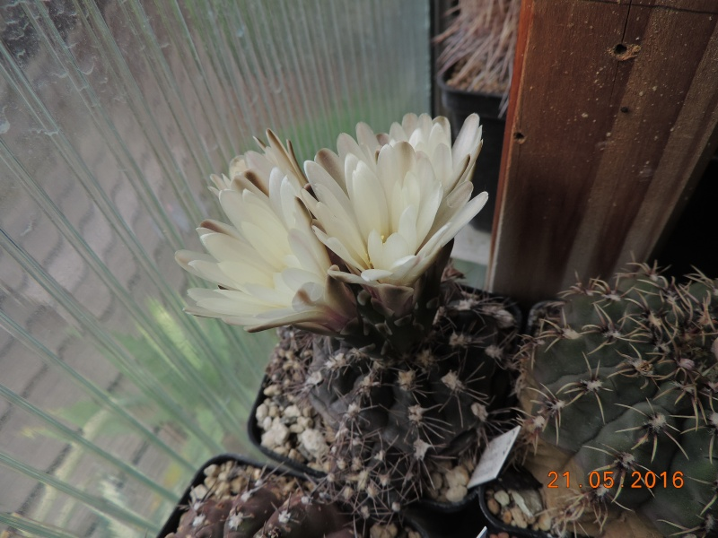 Cacti and Sukkulent in Köln, every day new flowers in the greenhouse Part 143 Bild_655