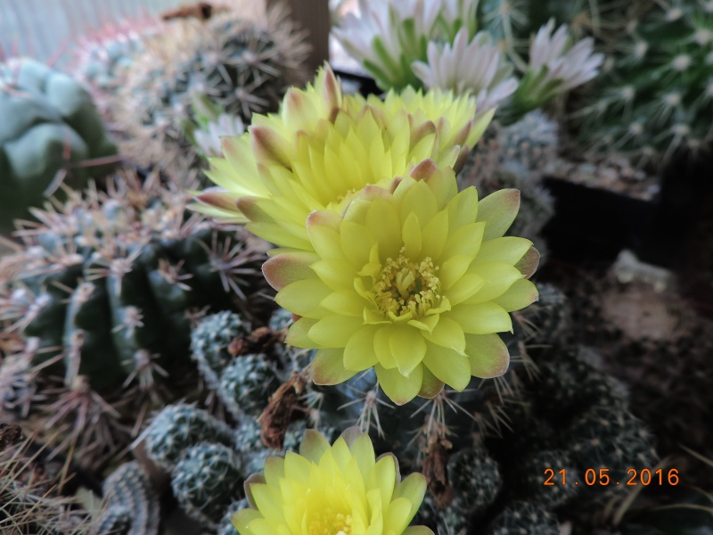 Cacti and Sukkulent in Köln, every day new flowers in the greenhouse Part 143 Bild_656