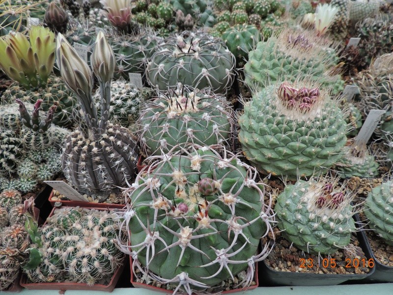 Cacti and Sukkulent in Köln, every day new flowers in the greenhouse Part 144 Bild_662