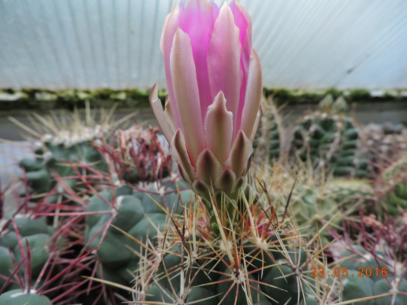 Cacti and Sukkulent in Köln, every day new flowers in the greenhouse Part 144 Bild_666