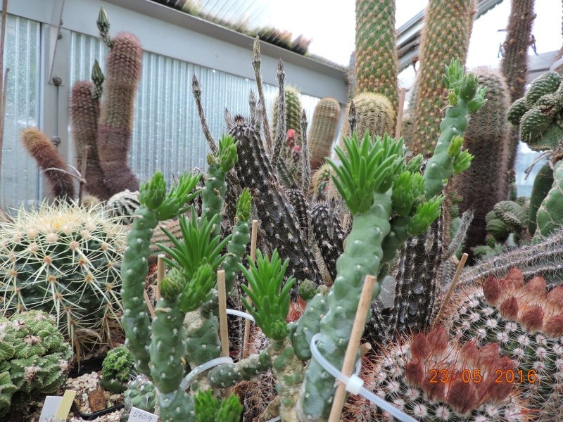 Cacti and Sukkulent in Köln, every day new flowers in the greenhouse Part 144 Bild_673