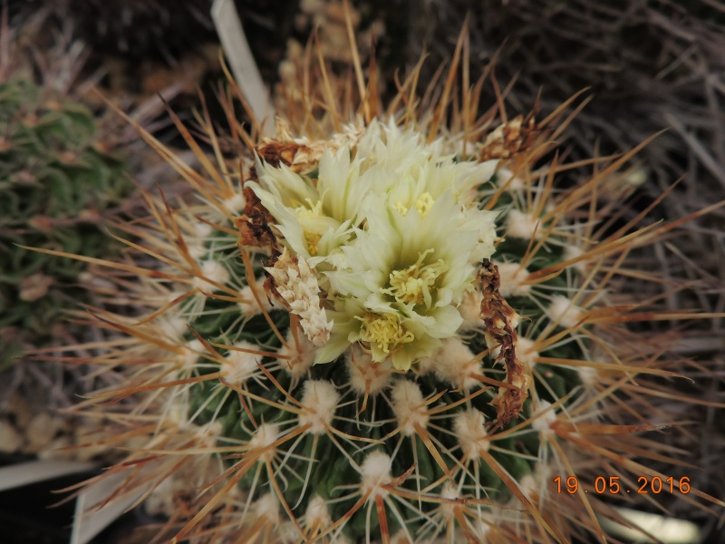 Cacti and Sukkulent in Köln, every day new flowers in the greenhouse Part 144 Bild_675
