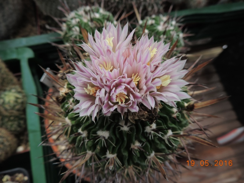 Cacti and Sukkulent in Köln, every day new flowers in the greenhouse Part 144 Bild_681