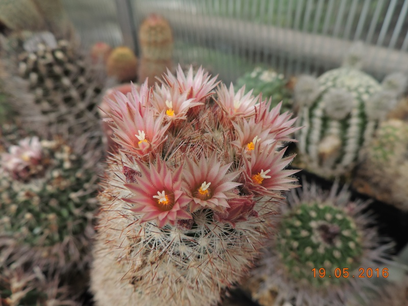 Cacti and Sukkulent in Köln, every day new flowers in the greenhouse Part 144 Bild_685