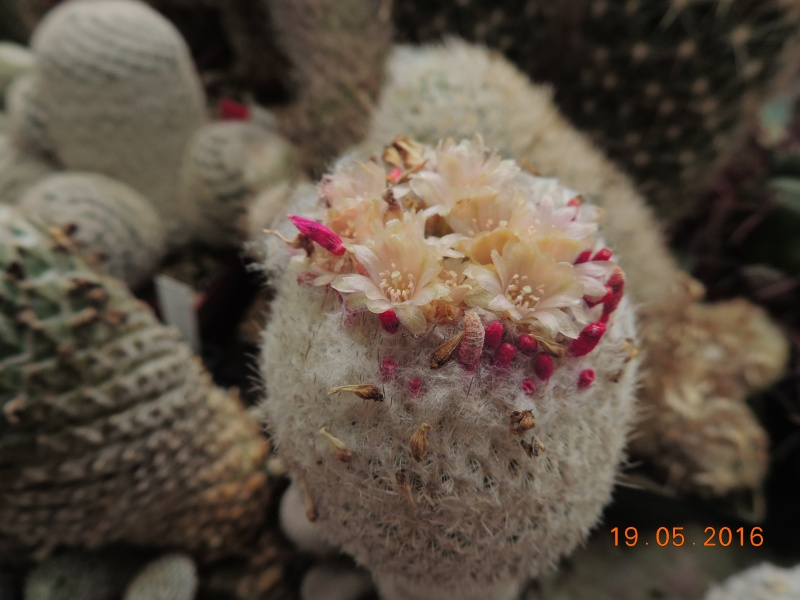Cacti and Sukkulent in Köln, every day new flowers in the greenhouse Part 144 Bild_688