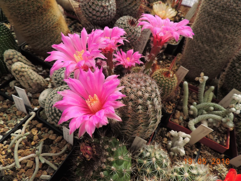 Cacti and Sukkulent in Köln, every day new flowers in the greenhouse Part 144 Bild_690