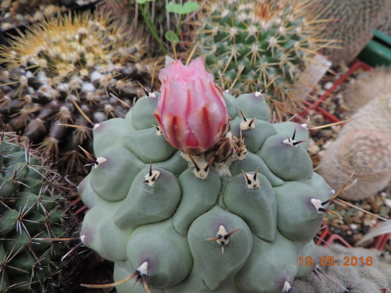 Cacti and Sukkulent in Köln, every day new flowers in the greenhouse Part 144 Bild_692