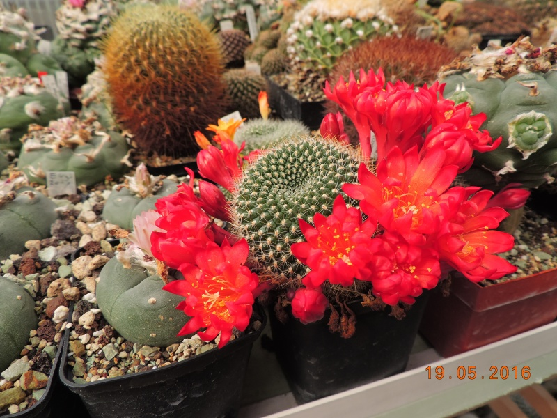 Cacti and Sukkulent in Köln, every day new flowers in the greenhouse Part 144 Bild_693